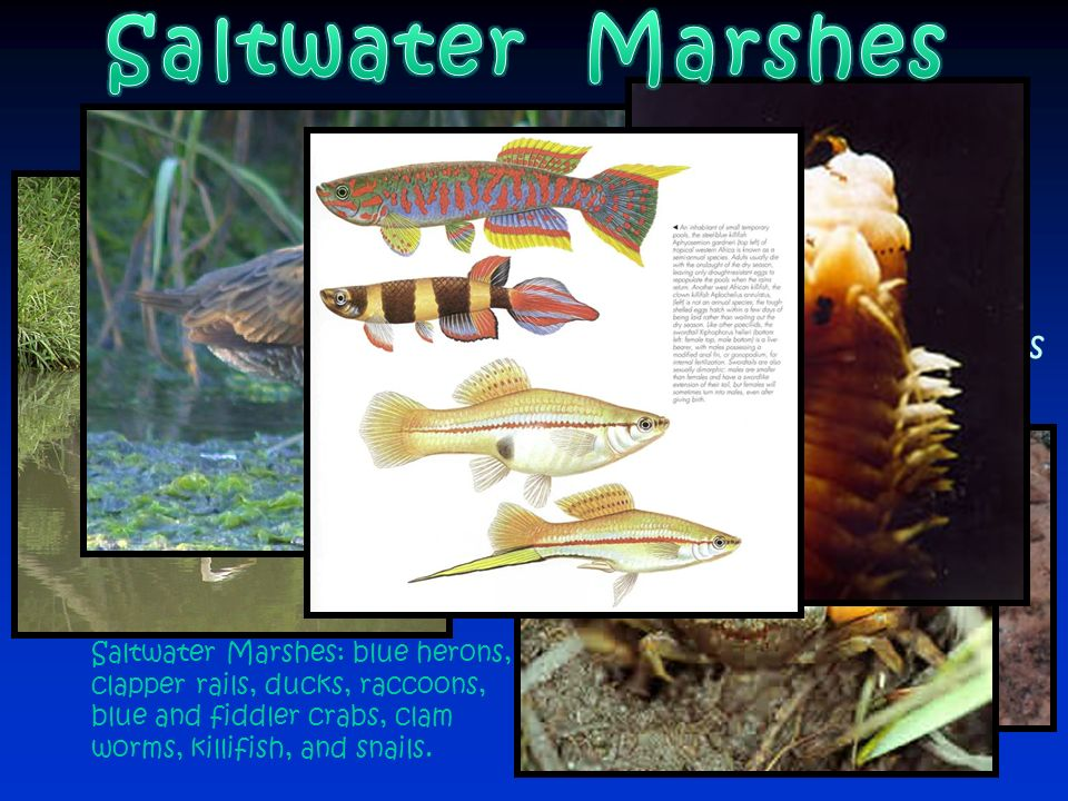 Saltwater Marshes Remember…marshes are wetlands, and they contain herbaceous plants. Some of the animals that abound in salt water marshes include: