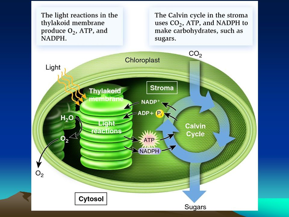 where does photosythesis take place C 3 plants — all of carbon fixation and photosynthesis happens in mesophyll cells just on the – photosynthesis takes place in the.