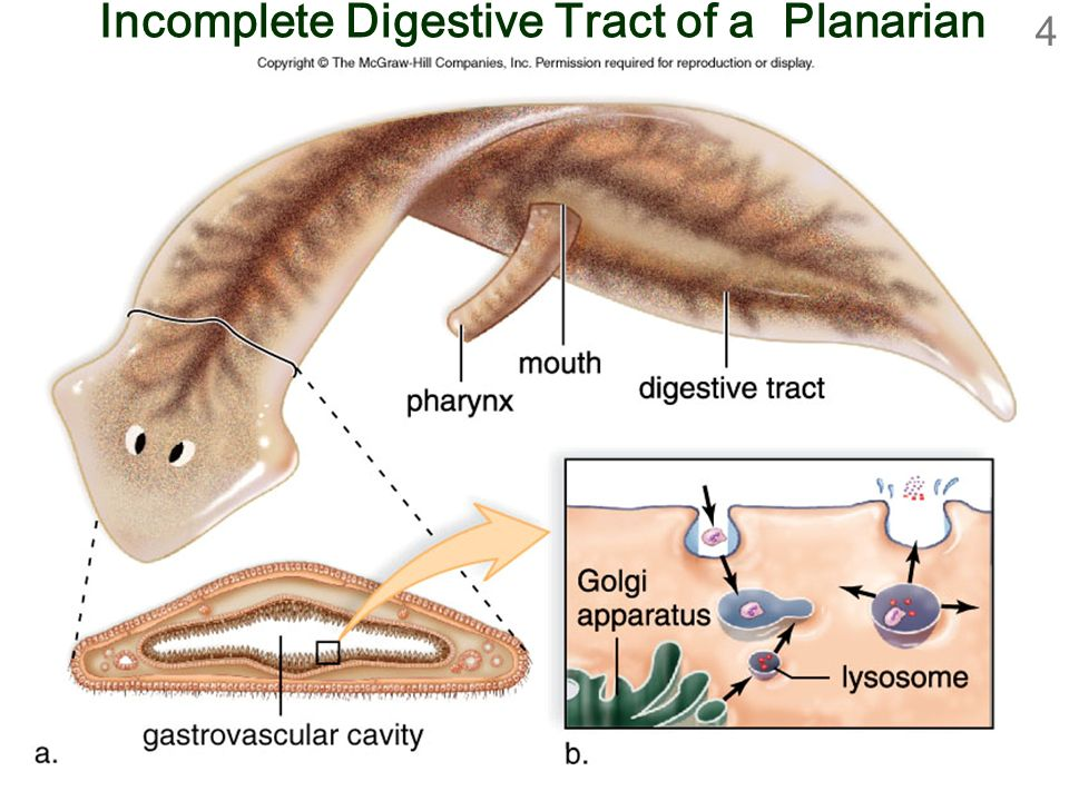 Biology 9th ed sylvia mader ppt download 4 incomplete digestive tract of a planarian ccuart Choice Image