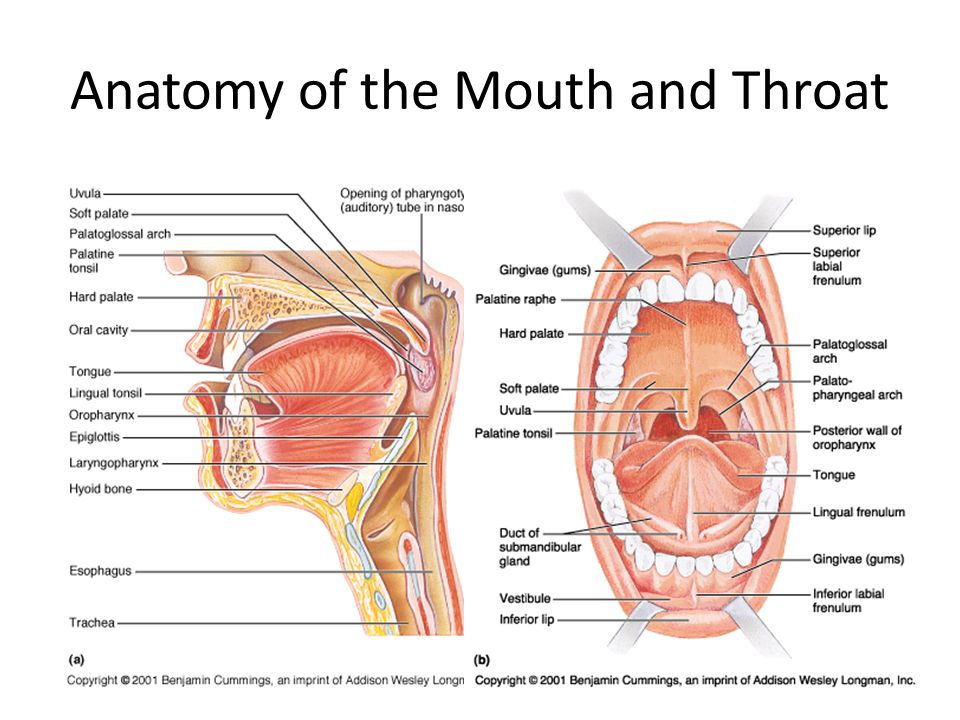 Anatomy of mouth and throat pictures