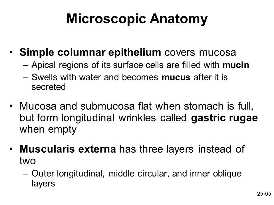 Microscopic Anatomy Of The Liver