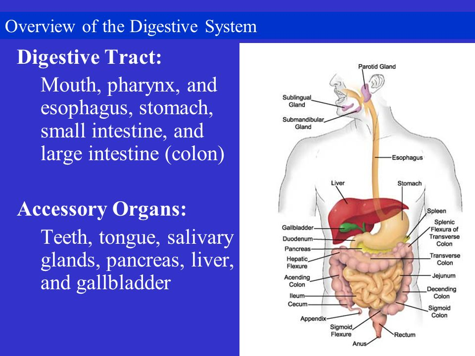 a report on the digestive system