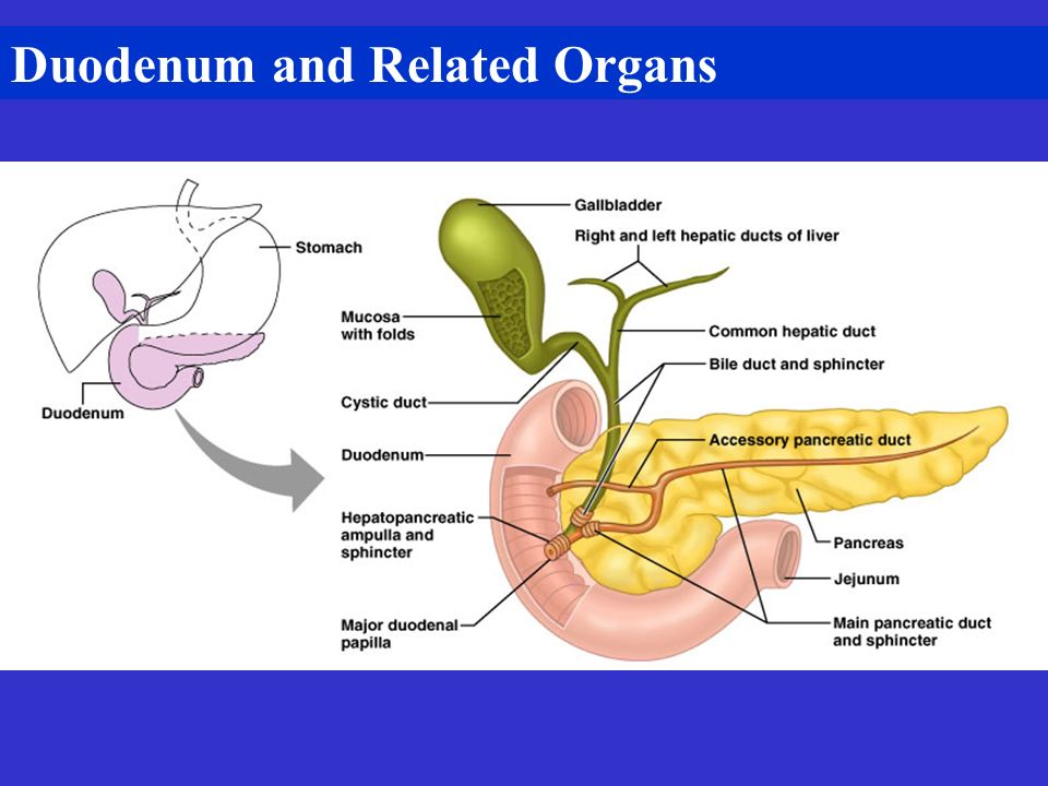Duodenum and Related Organs