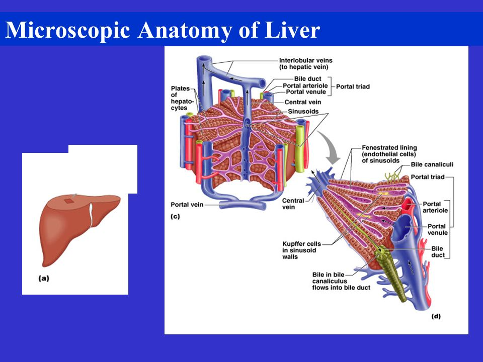 Microscopic Anatomy of Liver