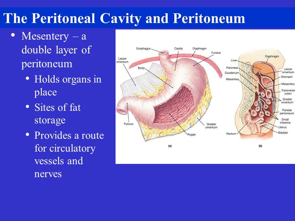The Peritoneal Cavity and Peritoneum