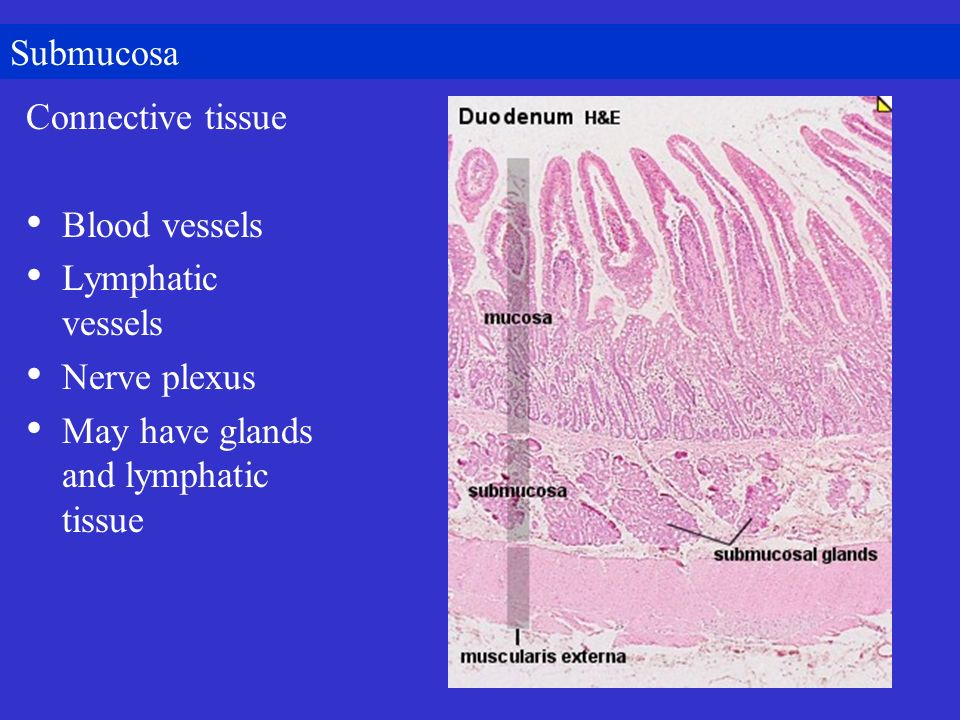 Submucosa Connective tissue. Blood vessels. Lymphatic vessels.