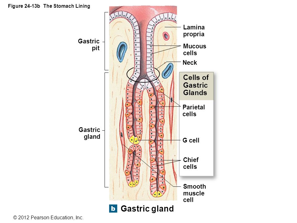 An introduction to the digestive system ppt download figure 24 13b the stomach lining ccuart Gallery