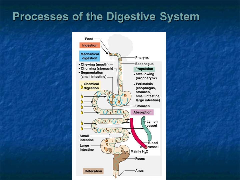 body processes of the digestive system The main function of the digestive system is to break down food so that it can be used by the body for energy, cell growth and repair here we explain the organs and processes that enable our bodies to convert food into sports performance.