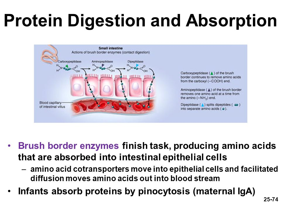 digestion absorption and homeostasis Digestion and absorption of carbohy by herat soni 5661 views in the control of body's homeostasis give shape and contour to the body and protect internal organs by providing a cushioning effect.