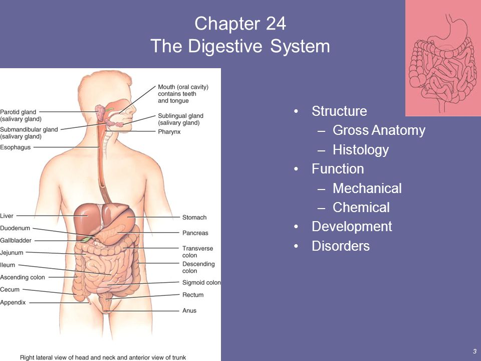 The Digestive System Lecture Outline - ppt download