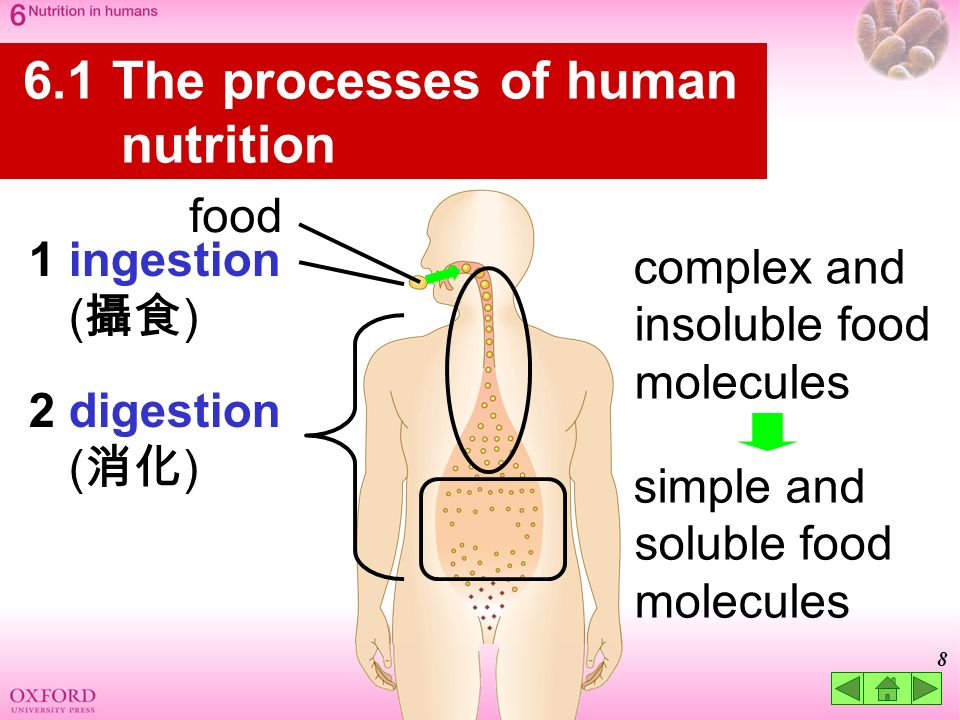 the characteristics of the human digestive system and the process of digestion Digestive system processes ingestion the first step to obtaining nutrition is ingestion, a process where food is taken in through the mouth and broken down by teeth and saliva.