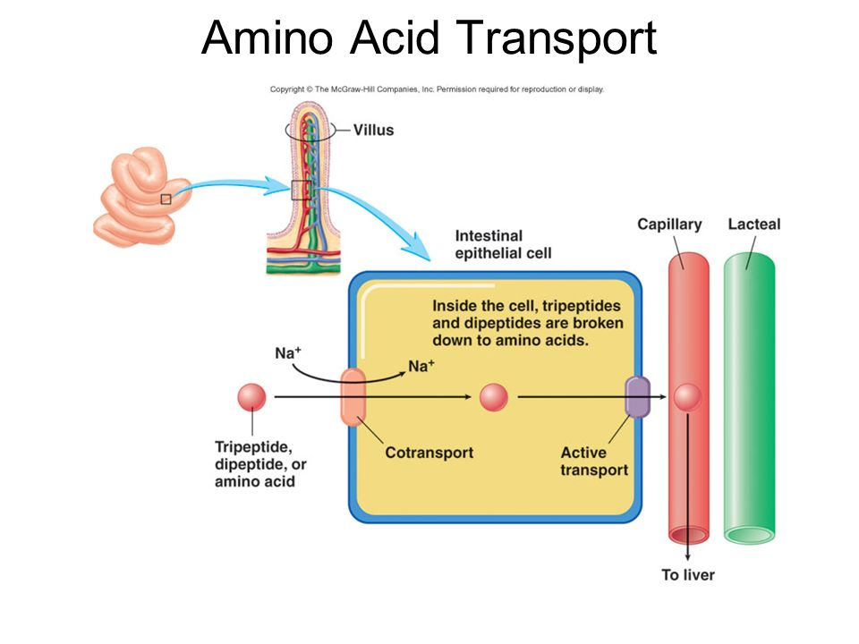 How Do Amino Acids and Glucose Move Across the Cell Membrane?