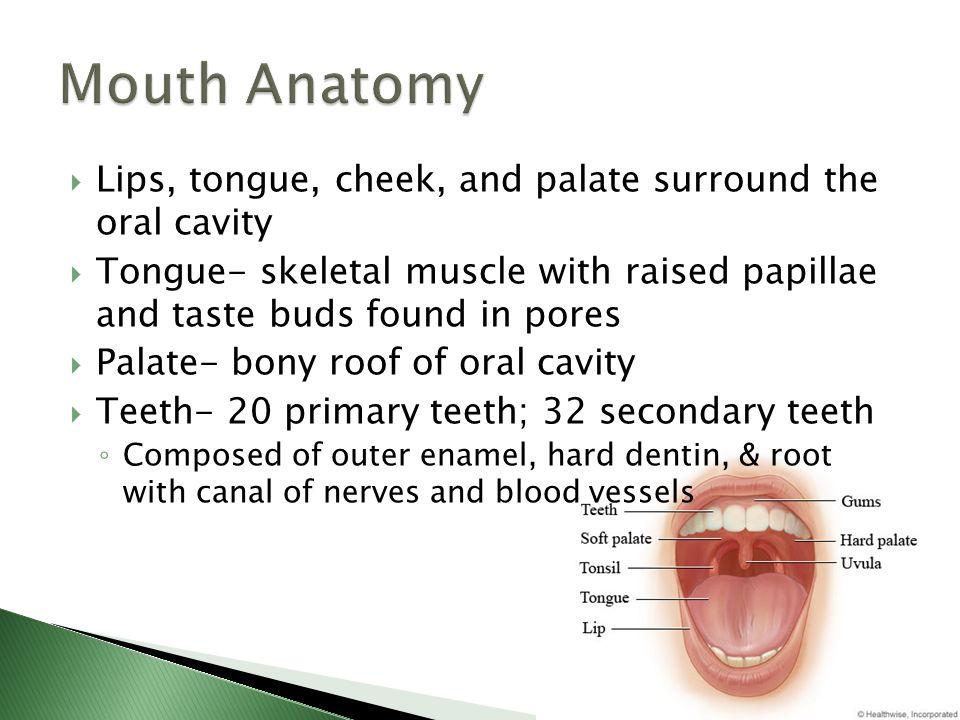 Amazing Anatomy Of Lip Elaboration - Human Anatomy Images ...