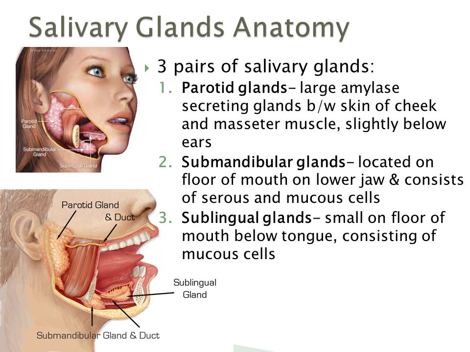 The digestive system biology ppt download for Floor of mouth anatomy
