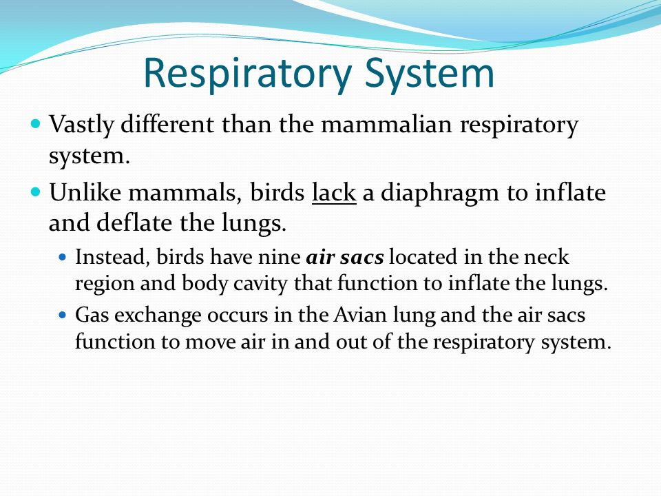 dissection of the mammalian respiratory system Frogs and humans need to breathe for the same reason: to bring oxygen into the body and to expel carbon dioxide we both have lungs for these tasks, but that's where most of the similarities end frogs live in a different environment than humans, and differences in their respiratory systems reflect that.