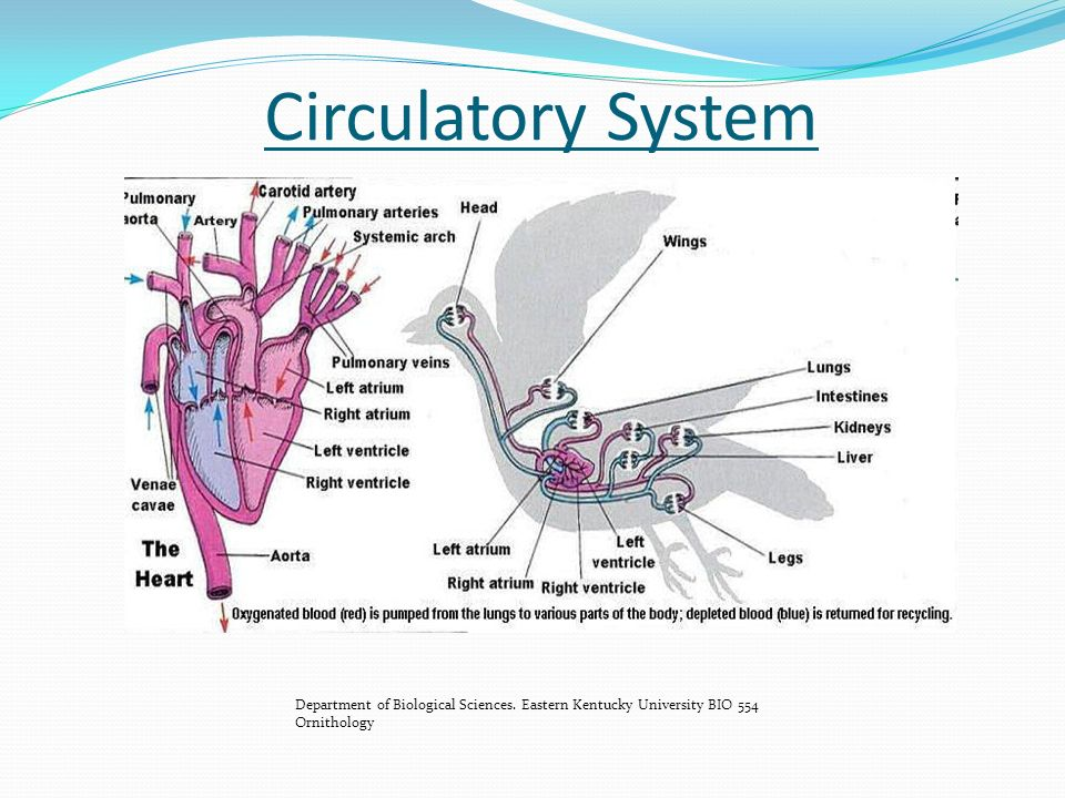 Anatomy And Physiology Of Poultry Ppt Video Online Download