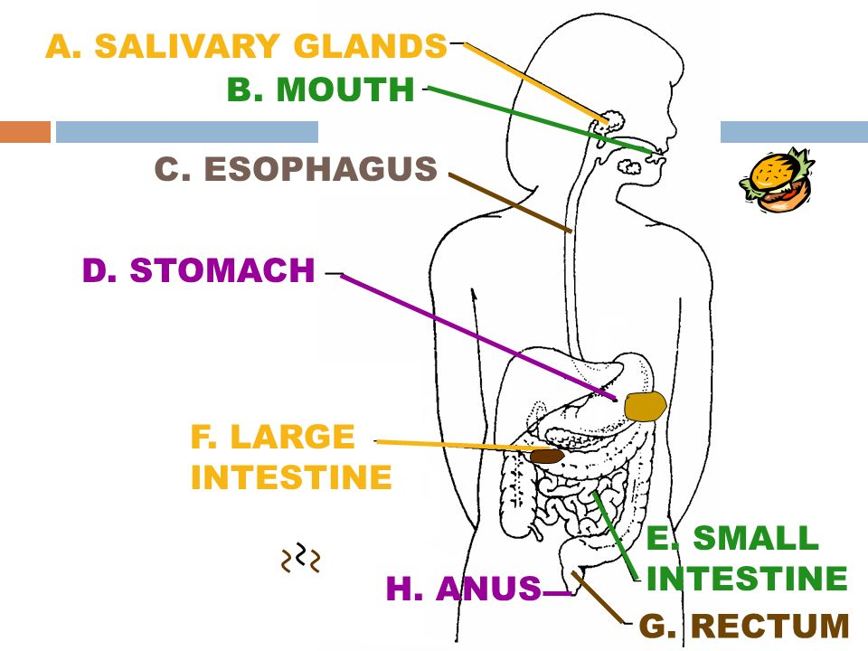 A. SALIVARY GLANDS B. MOUTH. C. ESOPHAGUS. D. STOMACH. F. LARGE INTESTINE. E. SMALL INTESTINE. H. ANUS.