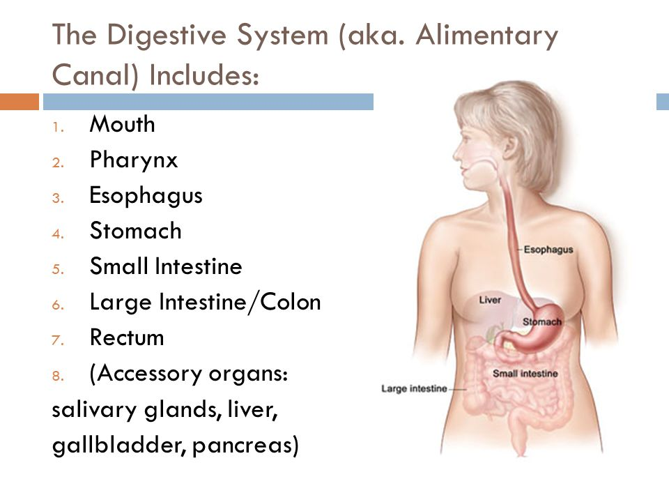 The Digestive System (aka. Alimentary Canal) Includes: