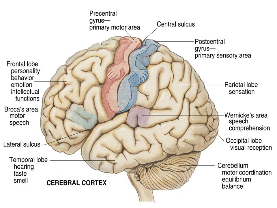 The Motor System and the Cerebellar Function - ppt video ...