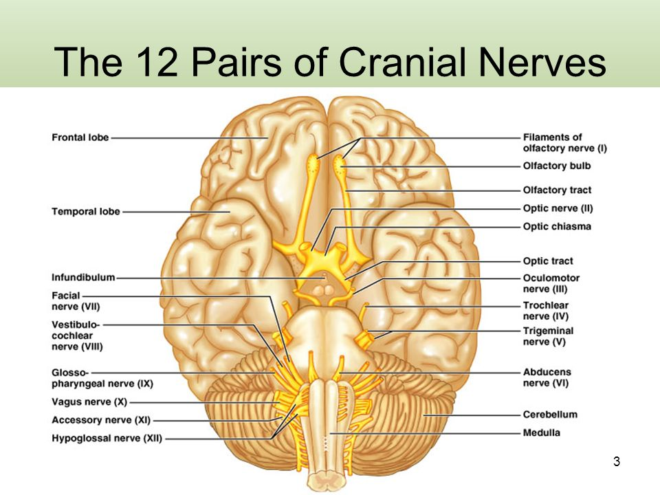 Which Letter Indicates The Cranial Nerve That Transmits Olfactory