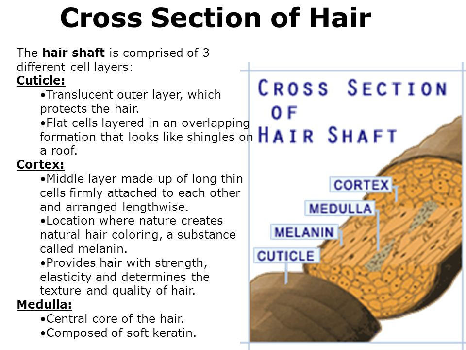 Cross Section Of Hair Cuticle Pictures to Pin on Pinterest - PinsDaddy