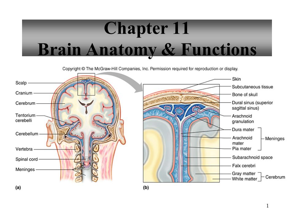 Anatomy of brain and function