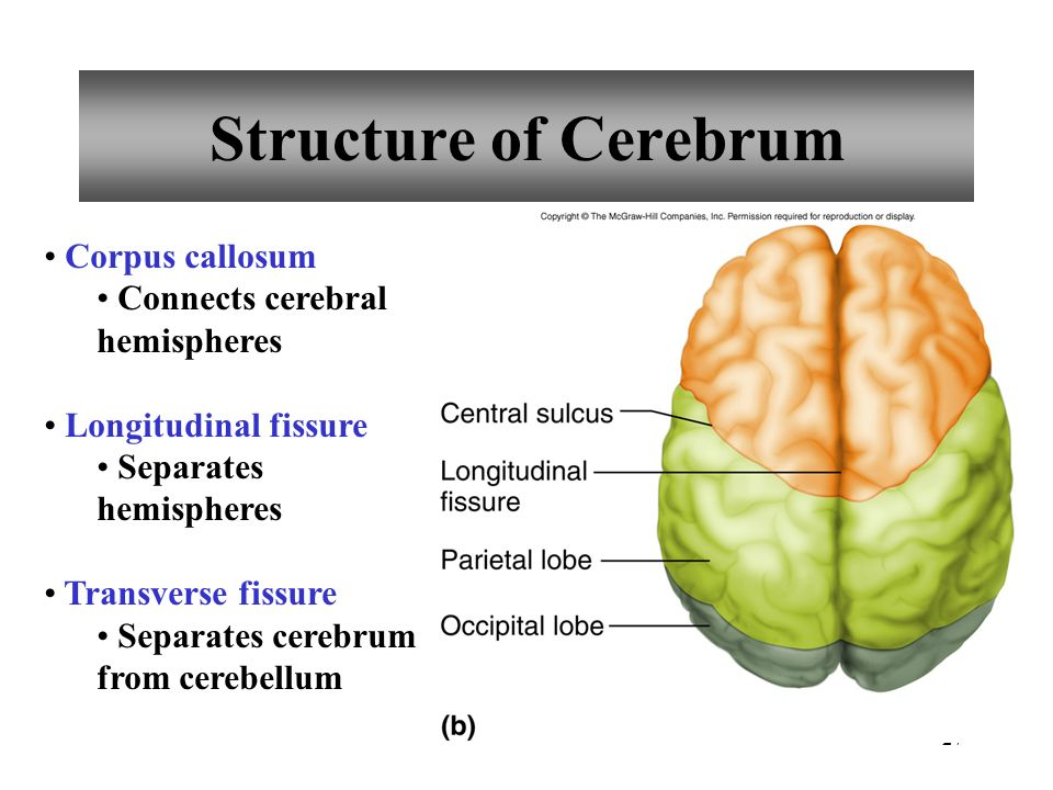 Chapter 11 Brain Anatomy & Functions - ppt video online ...