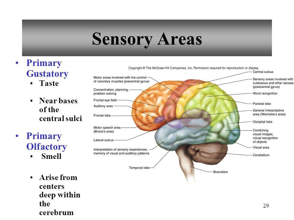 Brain Anatomy Frontal Lobe