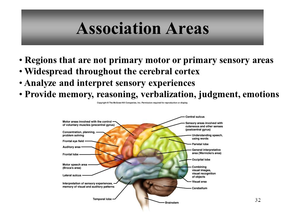 Chapter 11 Brain Anatomy & Functions