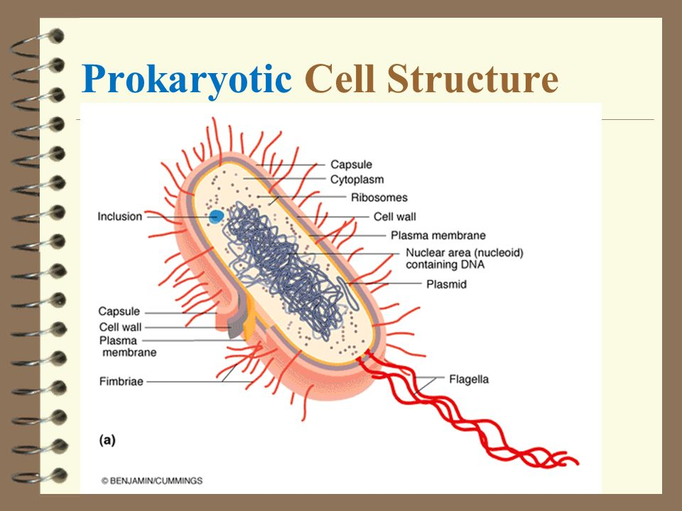 Outlines Introduction Prokaryotic cell structure - ppt ...  Outlines Introd...