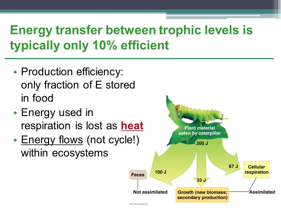 Energy transfer between trophic levels is typically only 10% efficient
