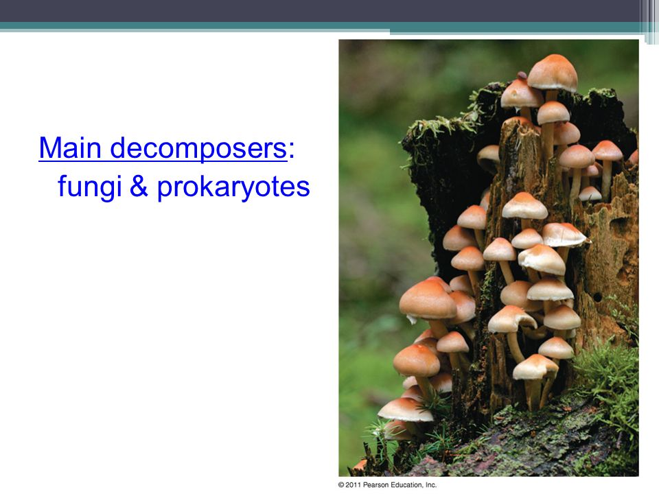 Main decomposers: fungi & prokaryotes