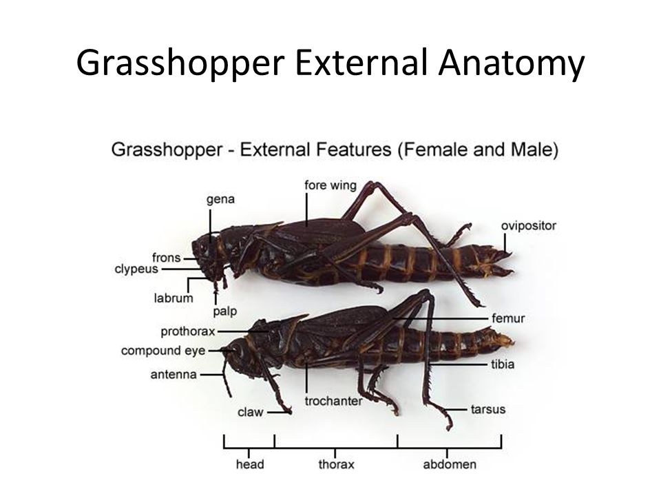 External grasshopper anatomy