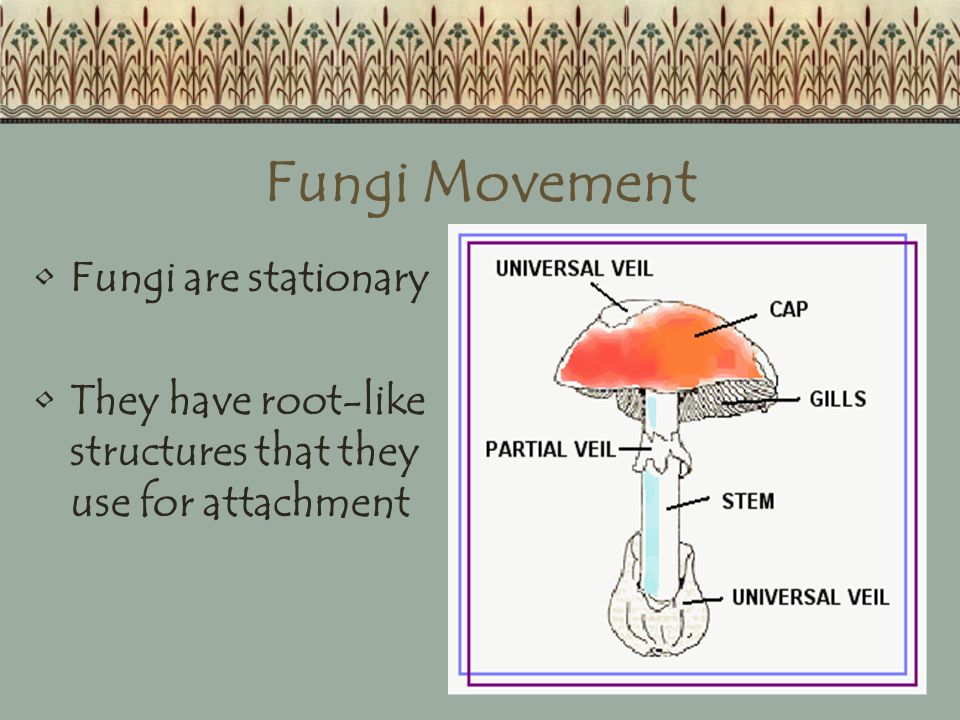 Fungi Movement Fungi are stationary