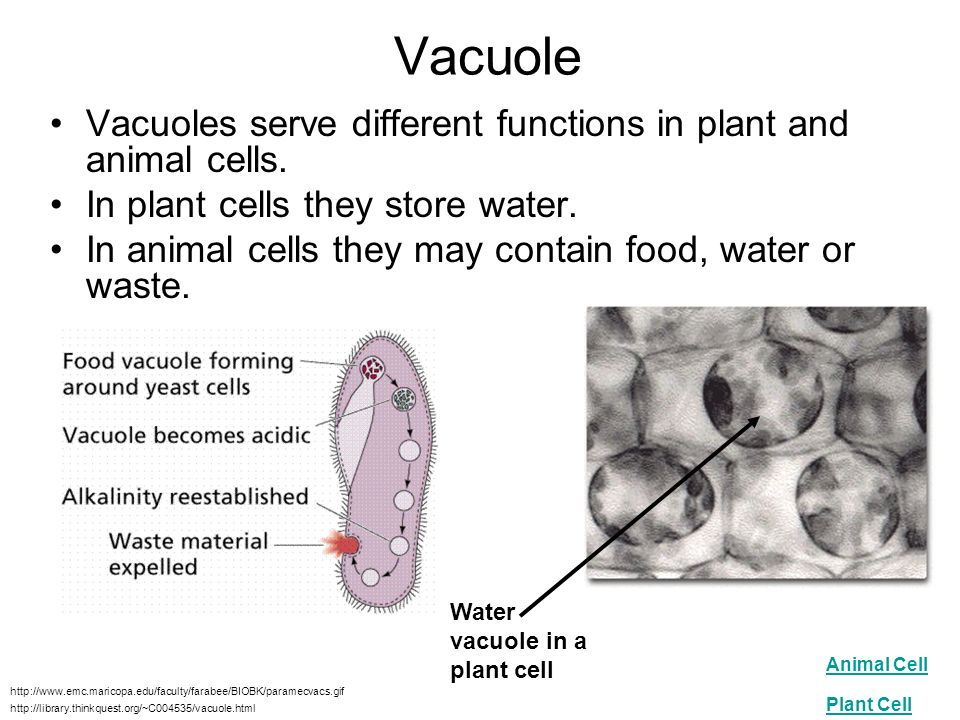 a comparison of animal cells and plant cells in distinct functions What organelles are unique to animals cells  and serves many of the same functions as  unique to plant cells cell walls provide structure for the.