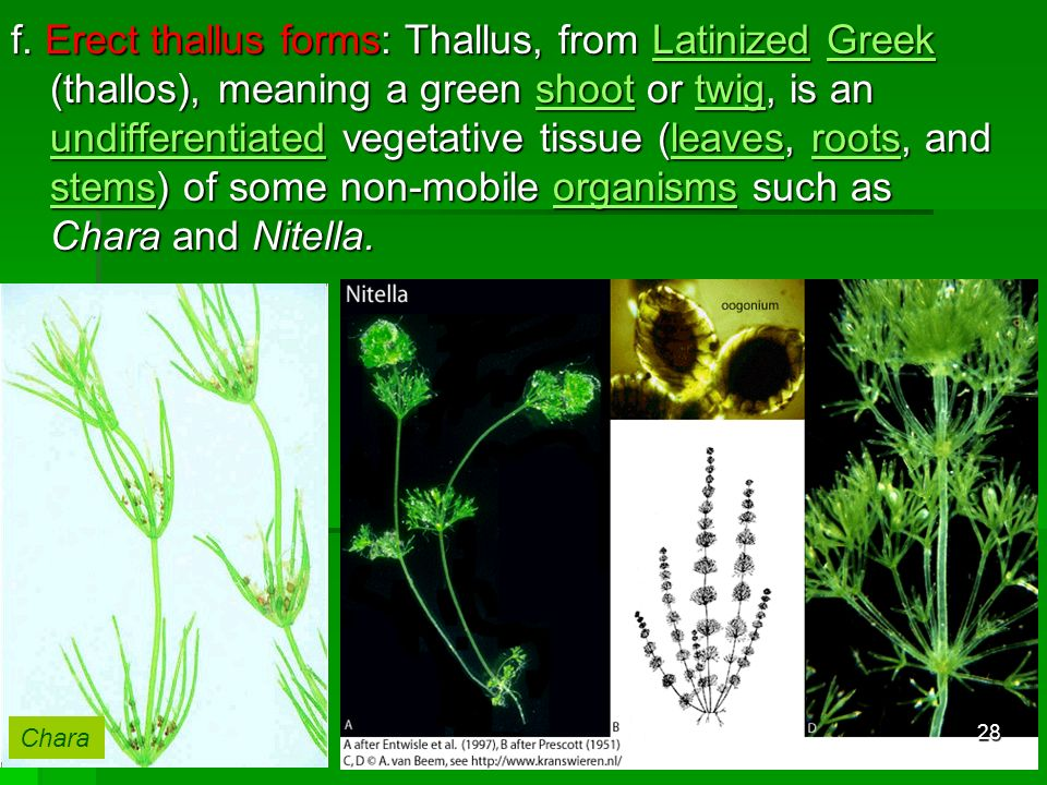 f. Erect thallus forms: Thallus, from Latinized Greek (thallos), meaning a green shoot or twig, is an undifferentiated vegetative tissue (leaves, roots, and stems) of some non-mobile organisms such as Chara and Nitella.