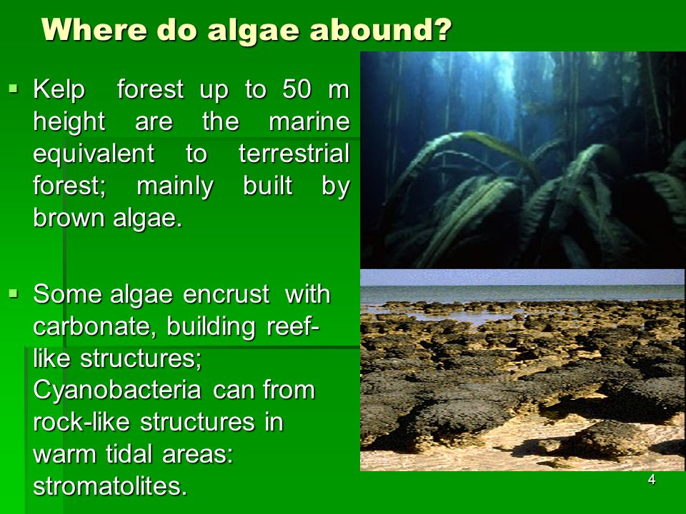 Where do algae abound Kelp forest up to 50 m height are the marine equivalent to terrestrial forest; mainly built by brown algae.