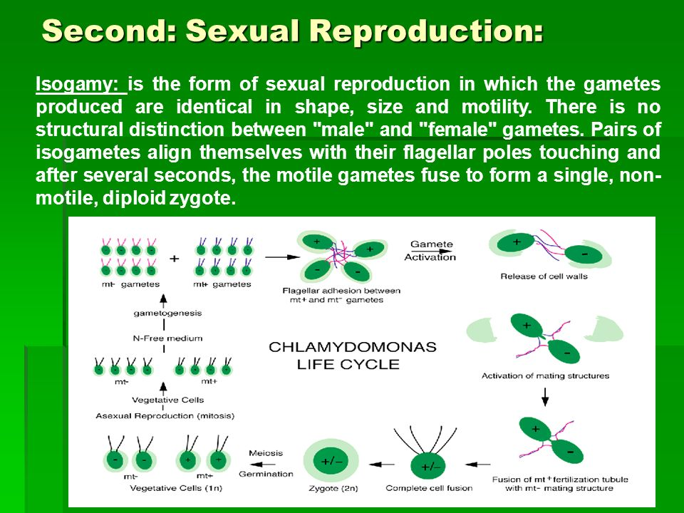 Second: Sexual Reproduction: