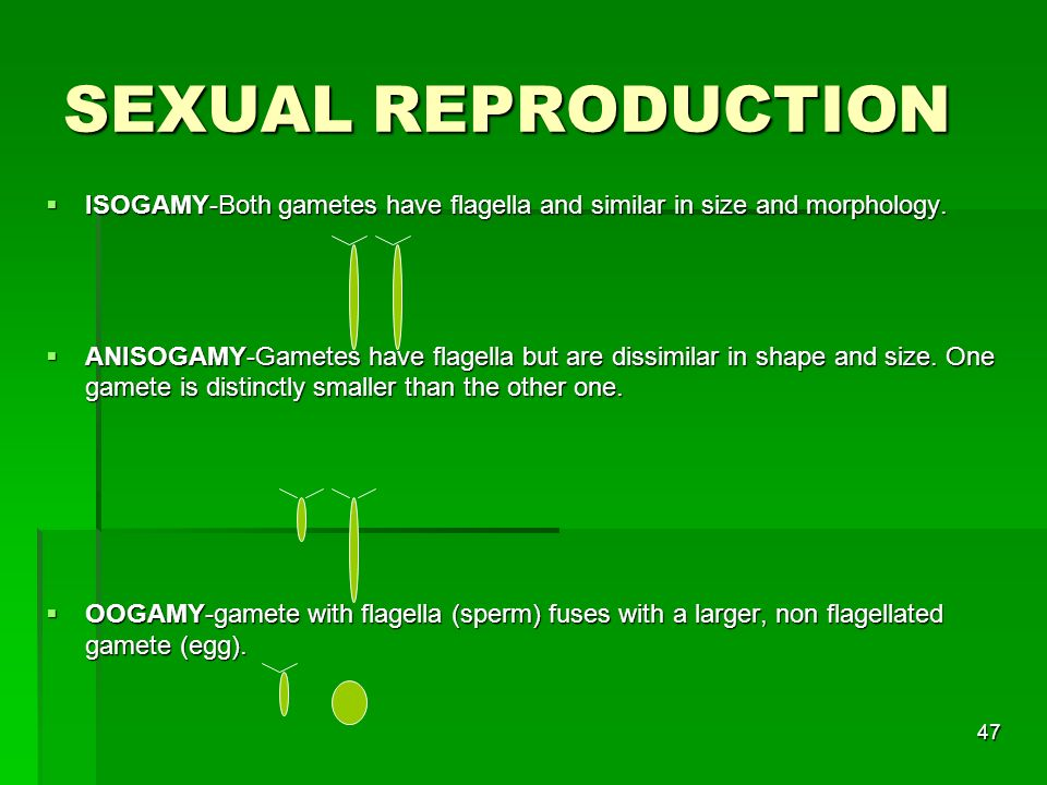 SEXUAL REPRODUCTION ISOGAMY-Both gametes have flagella and similar in size and morphology.