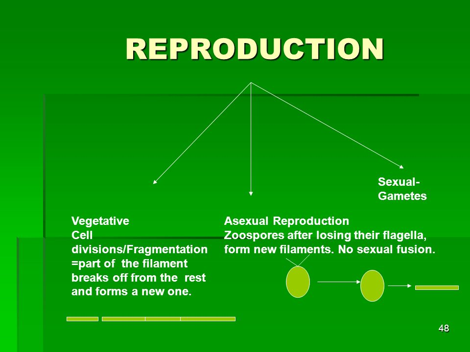 REPRODUCTION Sexual-Gametes Vegetative Cell divisions/Fragmentation