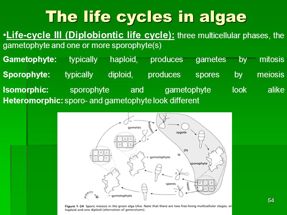The life cycles in algae