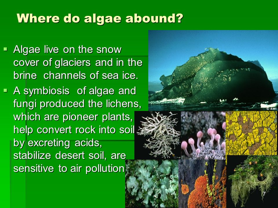 Where do algae abound Algae live on the snow cover of glaciers and in the brine channels of sea ice.