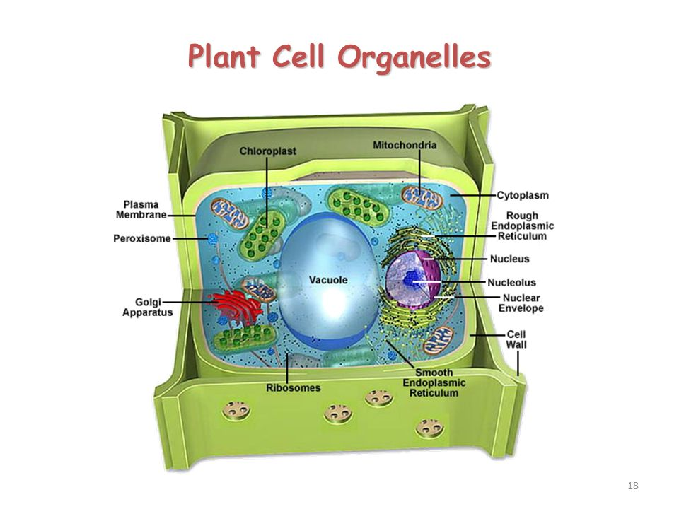 plant cell organelles and their functions pdf