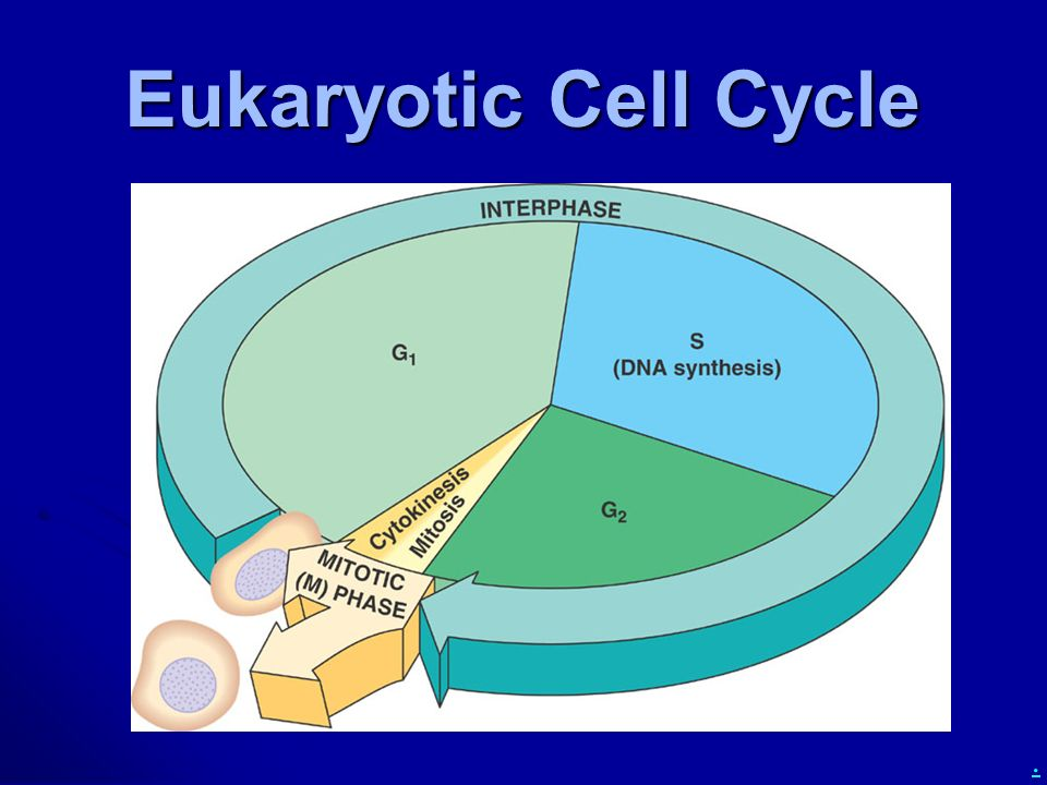 chapter 12  the cell cycle  how do cells divide