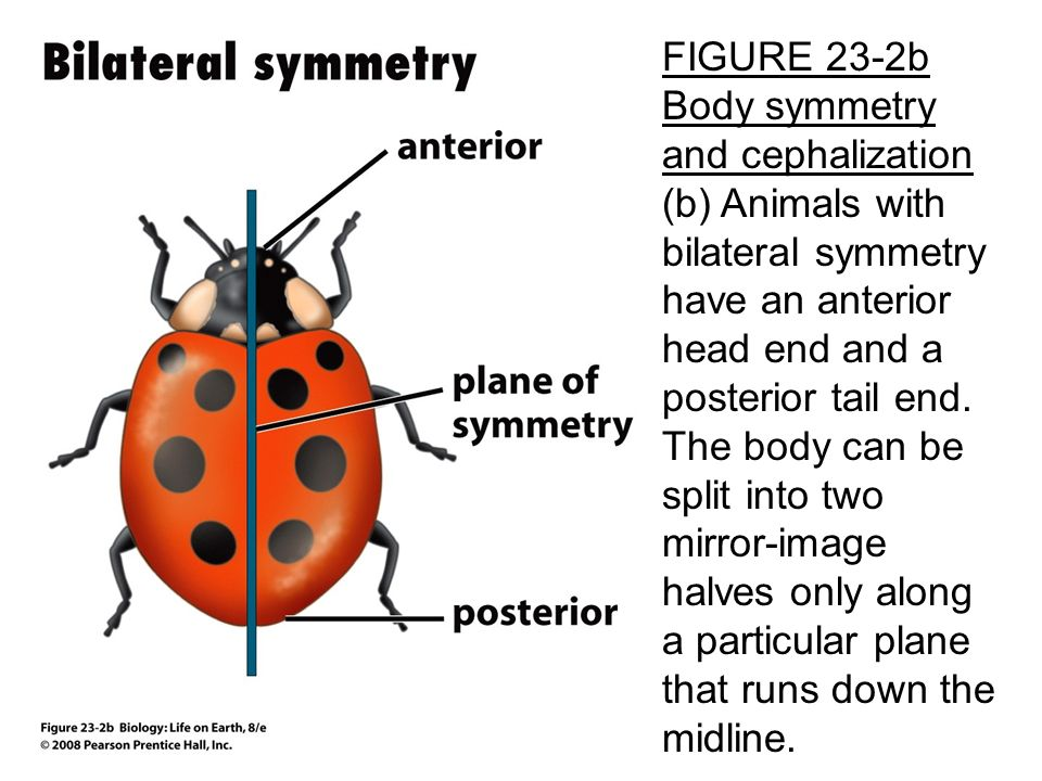 animal symmetry and functions Invertebrates, including the cone •cells of a particular type and function, organized in a specific pattern animal body plans: body symmetry.