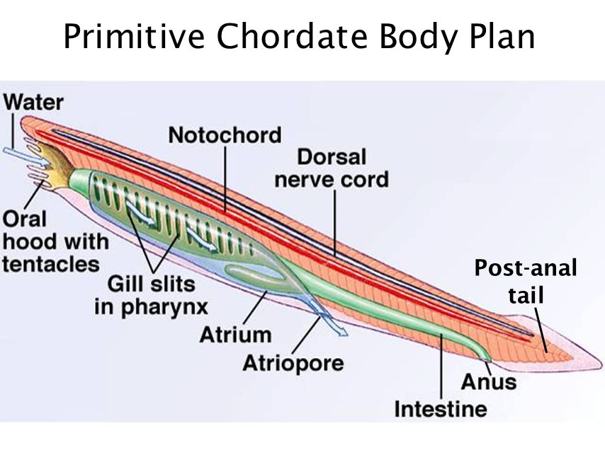 there's no zoo in zoology - ppt video online download body plan diagram