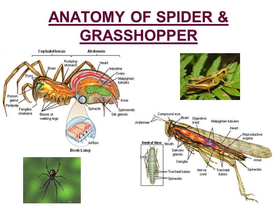Invertebrate Anatomy Online Gallery Human Anatomy Diagram Organs