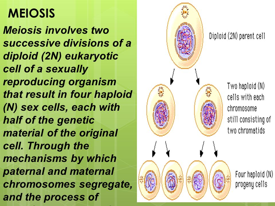 Meiosis Involves Two Successive Divisions Of A Diploid 2n. Worksheet. Worksheet 17 Meiosis Overview At Clickcart.co