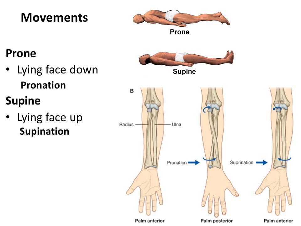Define Supination Image Collections Human Anatomy Organs Diagram