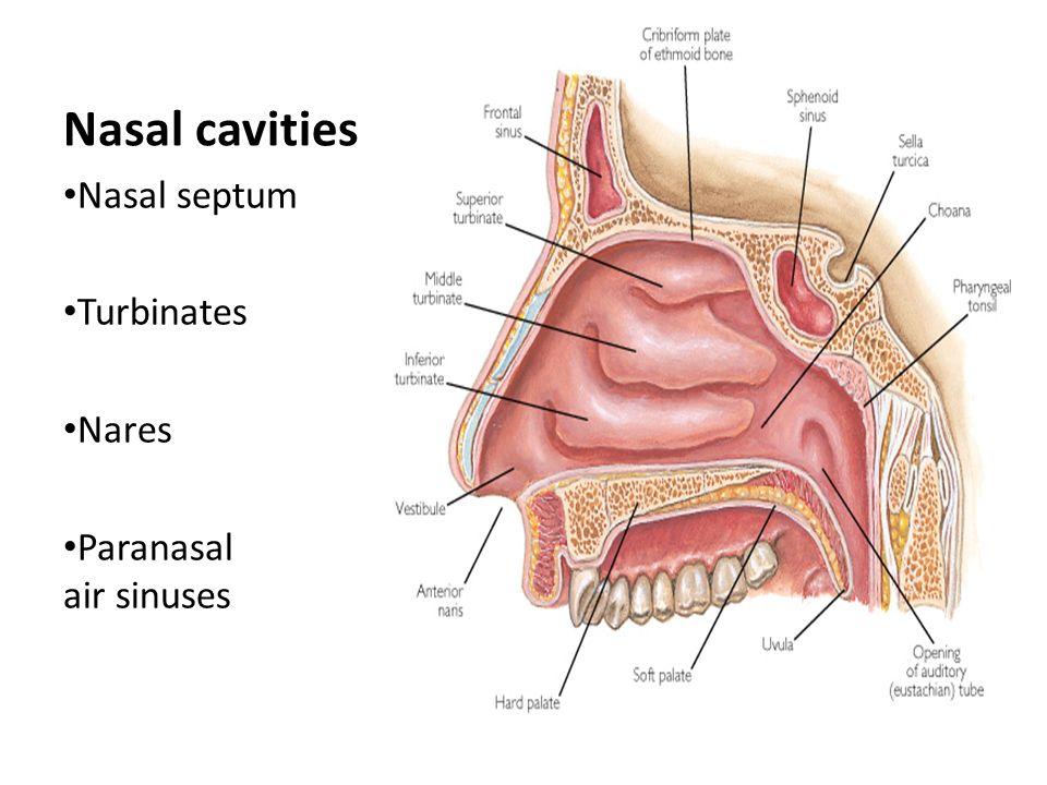 Fine Anterior Nares Anatomy Photo - Human Anatomy Images ...